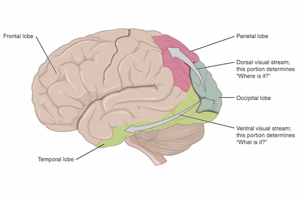 A two-dimensional color illustration of the left hemisphere of a human brain.