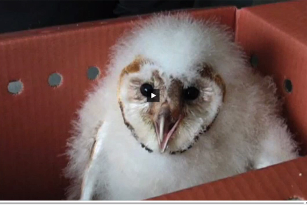 An example of a YouDescribed video featuring a baby owl.