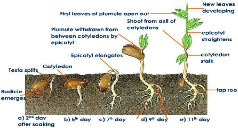 bean plant growth rate