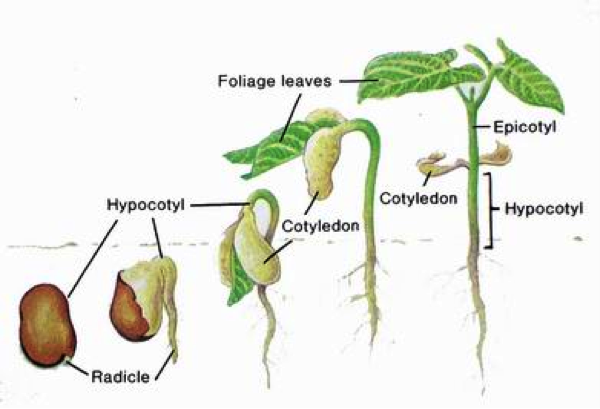germination growth plants Seed germination begins when the first root breaks through the seed wall and ends when the first pair of true leaves  how does gibberellic acid affect plant growth.
