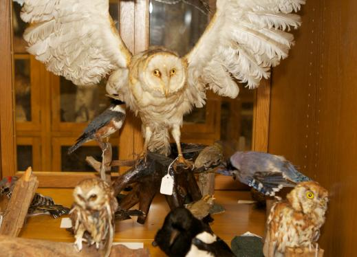 a taxidermy owl in perkins tactile museum