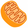 Cellular respiration occurs on the folds of the mitochondria.