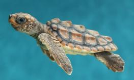 An accessible iBook about Loggerhead Turtles.