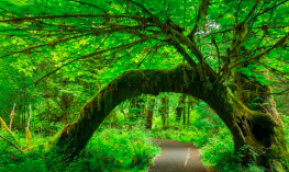 A green forest with a tree trunk that is bent over the path.