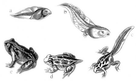 The life cycle of a frog is shown