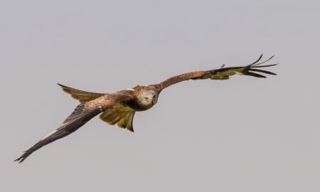 a hawk with its wings fully extended, displaying its wingspan
