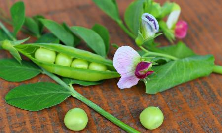 pea pod, flower and leaves from a pea plant