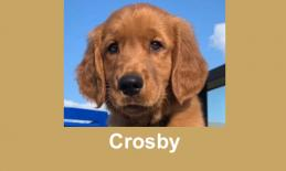 Photo of Crosby an adorable 7 month old golden retriever.
