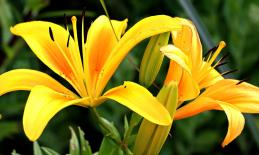 two yellow lillies