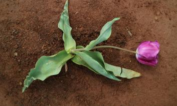 a tulip plant drooping to the ground