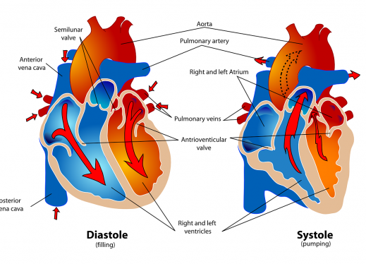 diagram showing how blood flows through the heart