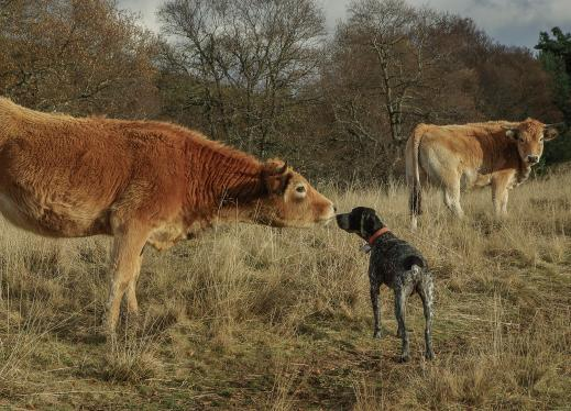 a cow and a dog meeting in a field