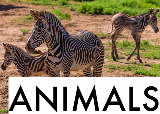 "Adult zebra with two baby zebras and the text, ""Animals""."