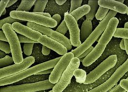 Picture of rod-shaped bacteria