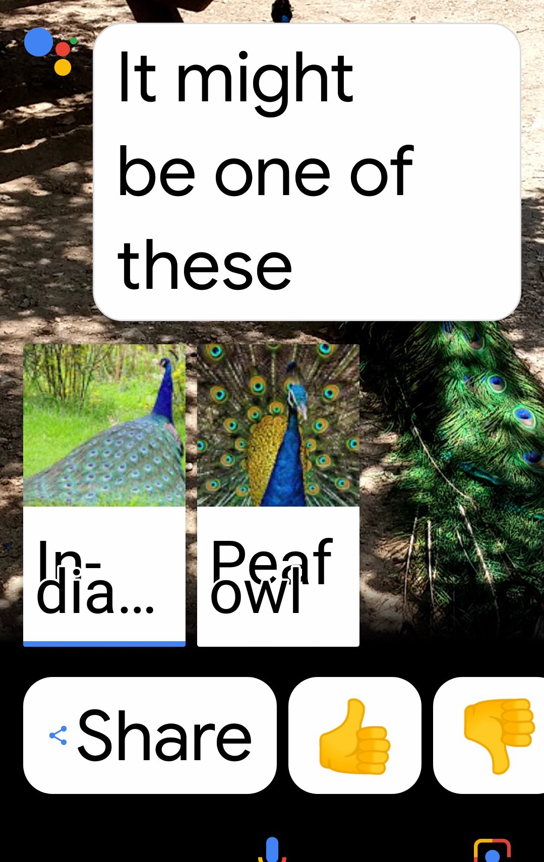"Google Assistant screenshot of peacock photo and text, ""It might be one of these"" and three options of peacocks India peacock, Peafowl peacock."