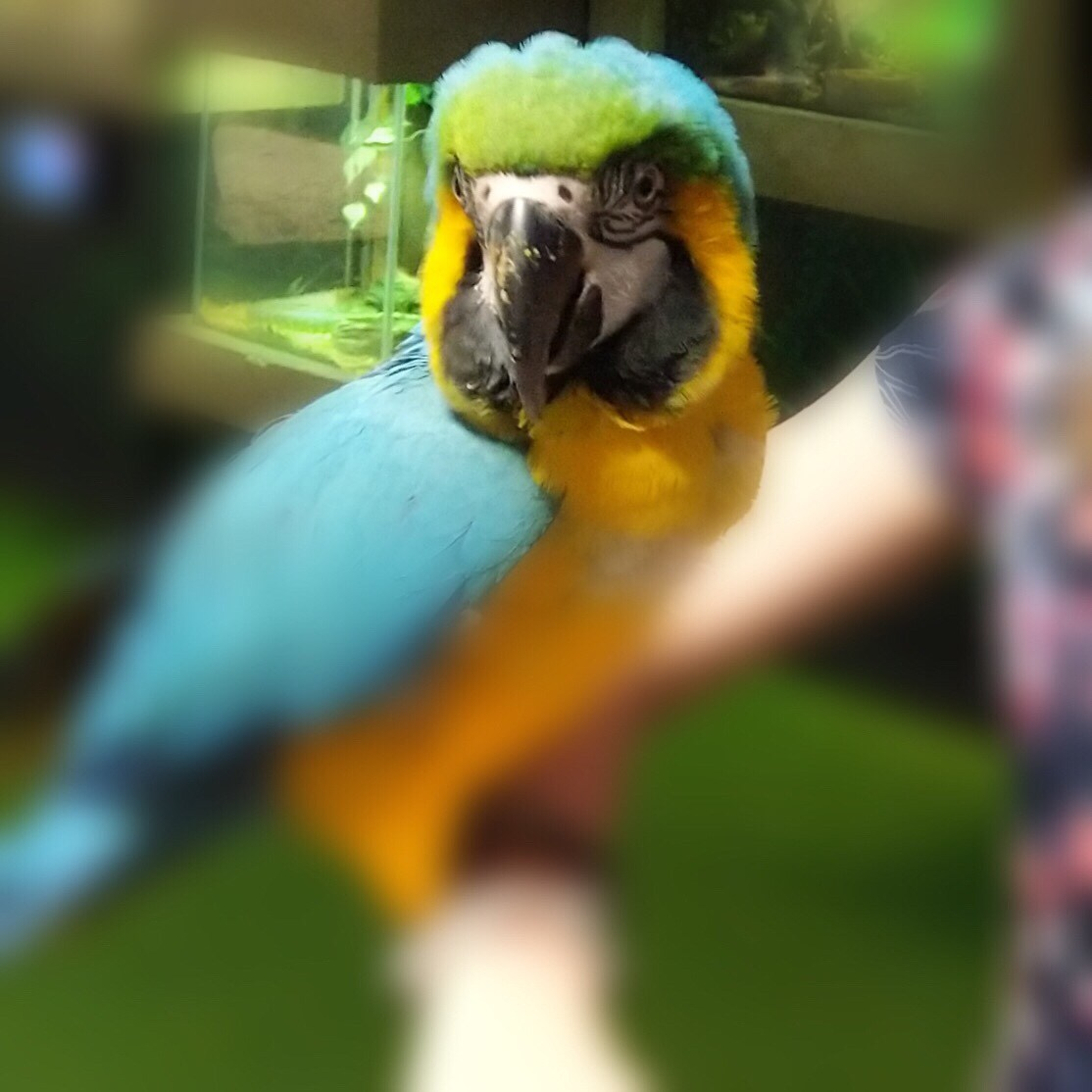 A colorful parrot on Veronica's arm; the parrot's head is clear but the rest of the image is blurry.