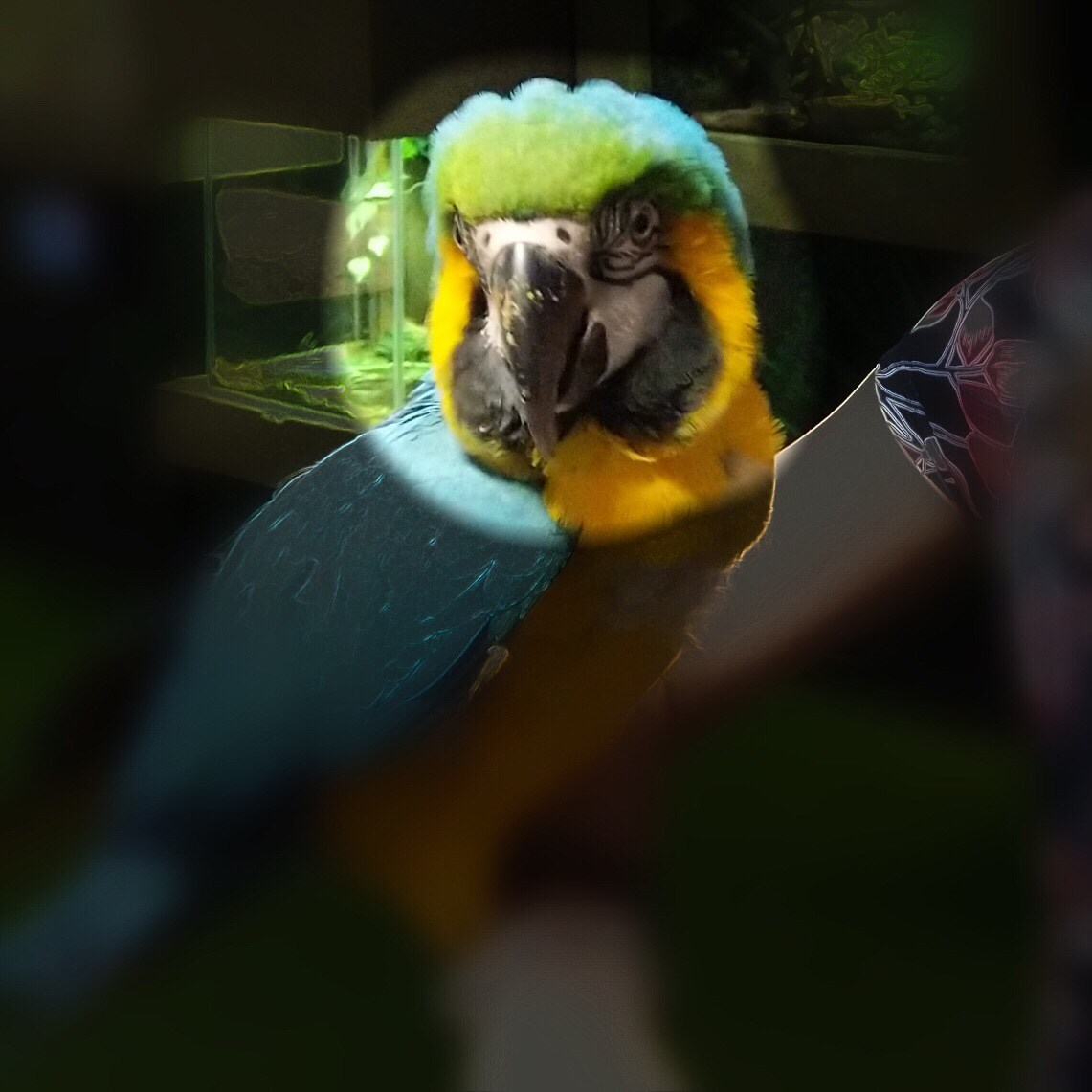A colorful parrot on Veronica's arm; the parrot's head is shown but the rest of the photo is blacked out.