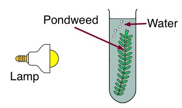 photosynthesis experiment pondweed This activity will allow students to measure the rate at which the photosynthesis process occurs students will work in small groups to design an experiment with one independent variable and test.